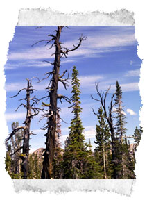 A photo of bare and granrled mountain trees.